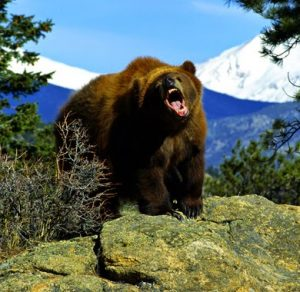 Grizzly-bear-arcgis-3