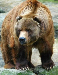 Grizzly-bear-arcgis